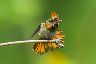 A male Tufted Coquette (Lophornis ornatus) in display on a perch. (Trinidad).