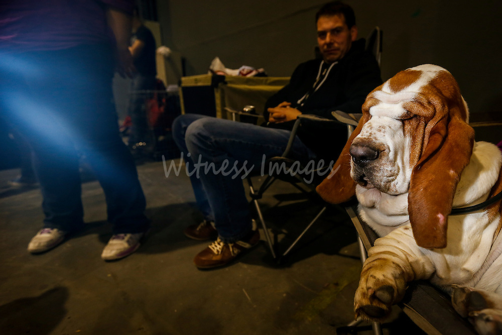 A Basset Hound is seen at the 50th Euro Dog Show in Kortrijk, Belgium, 16 November 2013.