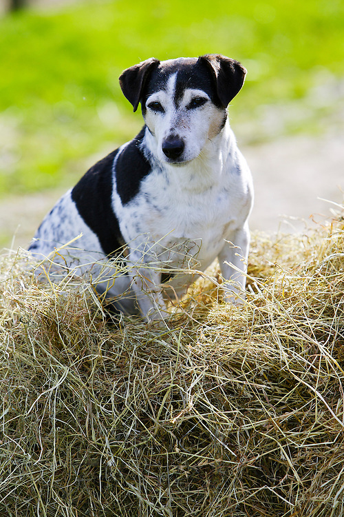 Jack Russell terrier sits on a pile of hay, England, United Kingdom