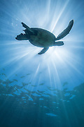 A graceful adult Hawaiian green turtle swims through the ocean with its long and elegant flippers, as the bright sun beams from above.