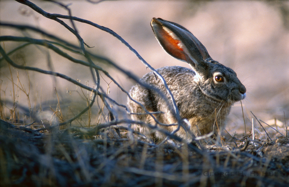 350103-1024B ~ Copyright: George H. H. Huey ~ Blacktail jack rabbit. Organ Pipe Cactus National Monument, Arizona.
