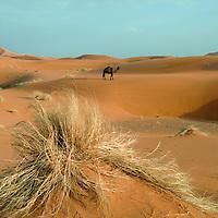 A camel in the Sahara Desert, near Merzouga, Morocco