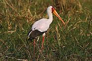 African wetland and shorebirds