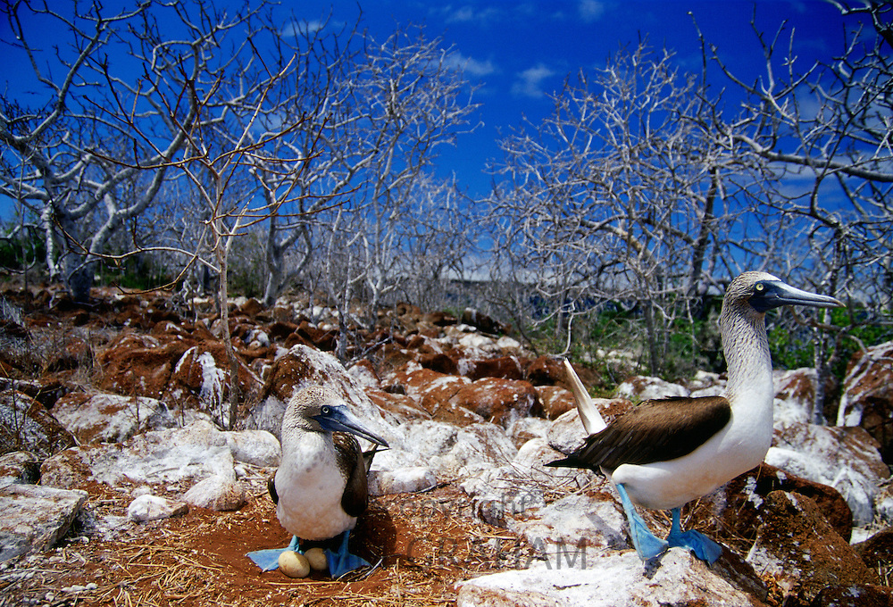 Blue-footed Booby birds protect their eggs on Galapagos Islands, Ecuador