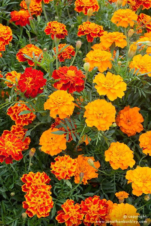 Tagetes patula 'Bonita'. Marigold