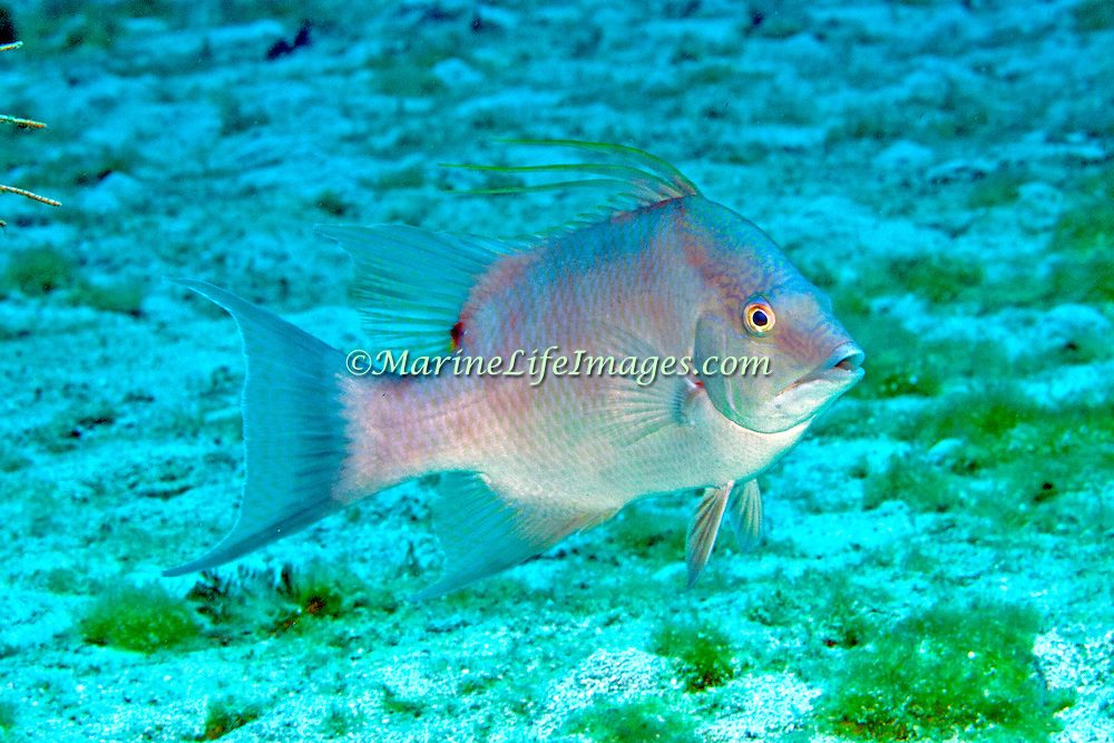 Hogfish most commonly over open bottoms of sand and rubble, occasionally over reefs in Tropical West Atlantic; picture taken Roatan, Honduras.