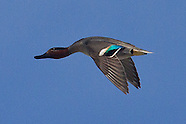 Common (Eurasian Green-winged) Teal photos
