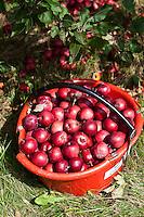 Late summer harverst and pressing in the orchards of Michel Jodoin. Rougemont, Quebec. September 1, 2011. © Allen McEachern.