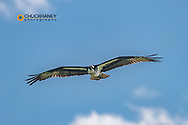 Osprey in flight in the Mission Valley, Montana, USA