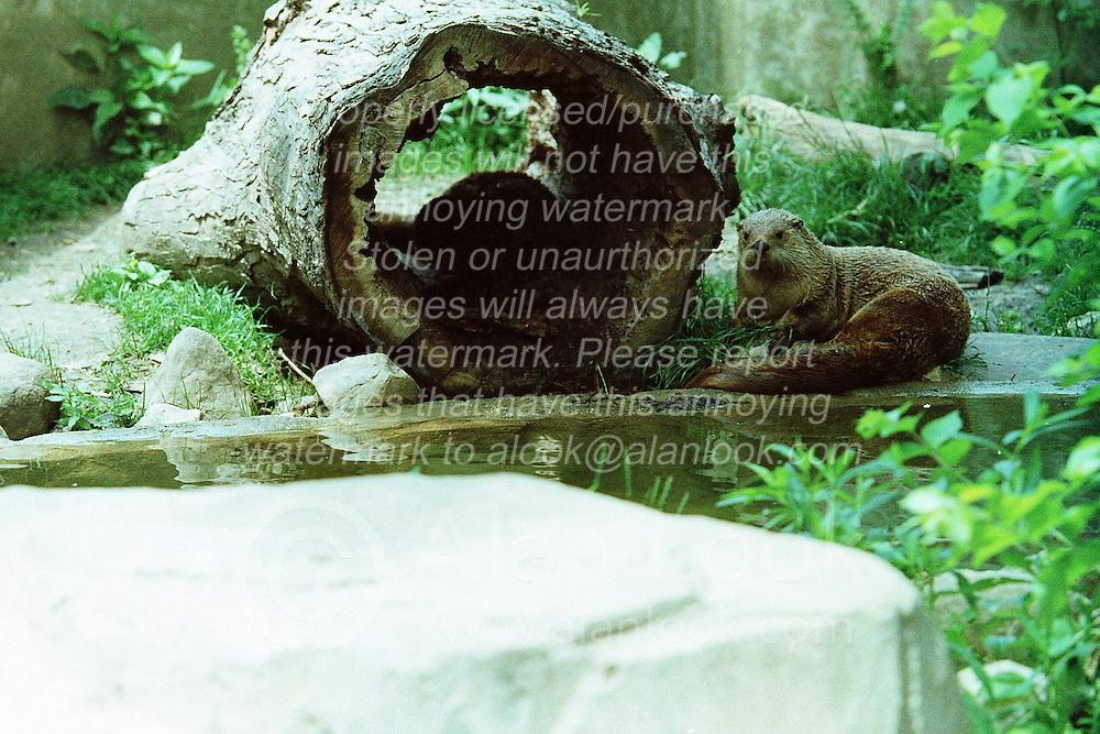 10 June 2001: Miller Park Zoo<br /> American River Otter<br /> Archive slide, negative and print scans.