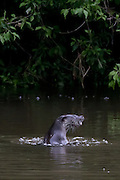 Otter (Lutra lutra) fishing on the River Stour. Dorset, UK.