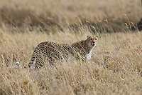 Cheetah hunting the savanna, Central Serengeti