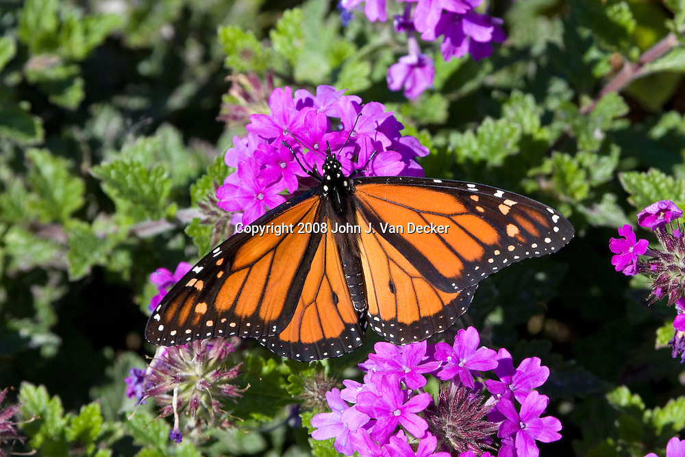 Monarch Butterfly feeding on purple flower....A male Monarch butterfly as evidenced by the black spot on a vein of the mid-hindwing