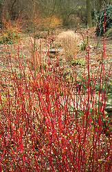Red stems in the woodland garden at Beth Chattos with Cornus alba 'Sibirica' in the foreground. Dogwood