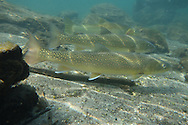 Bull Trout (with westslope cutthroat trout in background)<br />