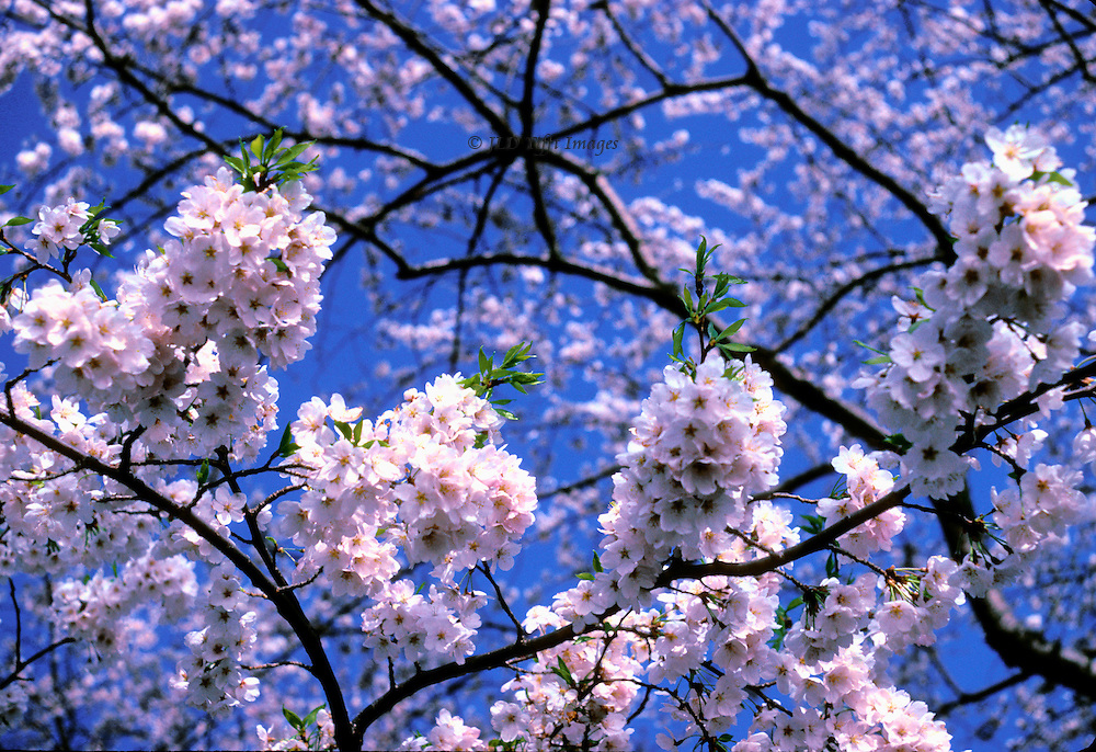 Looking up into the branches of a Japanese cherry tree in full flower against a bright blue sky.