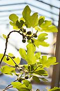 Fikenplante med blivende fikener. Nyåpnede Credo restaurant i Trondheim, er et moderne og romslig spisested som har fått tilhold i et gammelt industriområde på Lilleby. De bruker lokale råvarer, og er selvforsynt med alt grønt. Det dyrkes i samarbeid med et gårdsbruk i sommersesongen, og innendørs på tilsammen 50 m2 fordelt på alle steder der det er mulig.