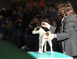 © Licensed to London News Pictures. 11/03/2012. A Jack Russell  terrier waits to be judged as it take spart in the Terrier and Hound day of the 2012 Crufts final at the Birmingham NEC Arena.  With over 28,000 dogs taking part the tension is high as the competition draws towards the prestigious title of  Best in Show. Photo credit: Alison Baskerville/LNP