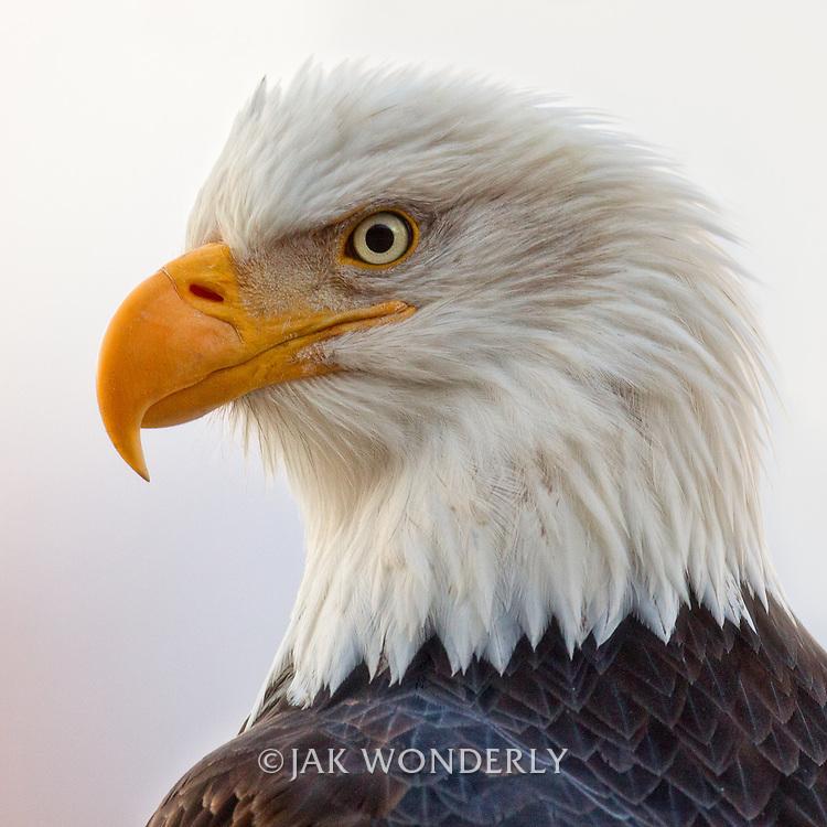 Profile portrait of a mature Bald Eagle (Haliaeetus leucocephalus). Haines, Alaska, USA.