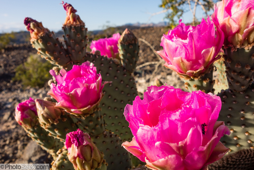 Pink flowers of prickly pear cactus opuntia lake mead nra nevada pink prickly pear cactus flowers opuntia genus in the cactus family cactaceae bloom mightylinksfo