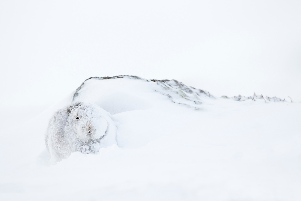 Mountain Hare (Lepus timidus) in winter coat hunkered against rock partially covered in snow, Scotland
