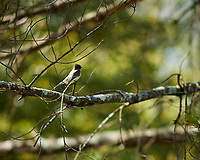 Eastern Phoebe in a tree. Image taken with a Nikon D850 camera and 105 mm f/1.4 lens (ISO 64, 105 mm, f/1.4, 1/2500 sec).