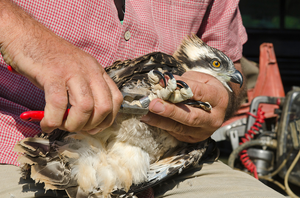 Tim Appleton Site Manager at Rutland Water ringing a soon to fledge Osprey chick from nest close to Rutland Water June