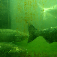 Salmon are seen swimming underneath the Hiram M. Chittenden Locks located in the Ballard neighborhood of Seattle, Washington.Melanie Maxwell