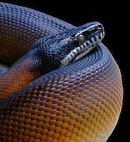 White Lipped Python (Leiopython albertisiii