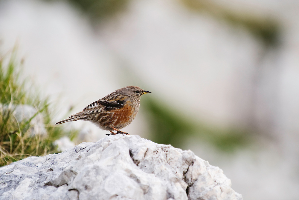Alpine Accentor (Prunella collaris)<br /> Triglav National Park, Slovenia<br /> July 2009