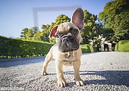 Franzoesische Bulldogge, Welpe