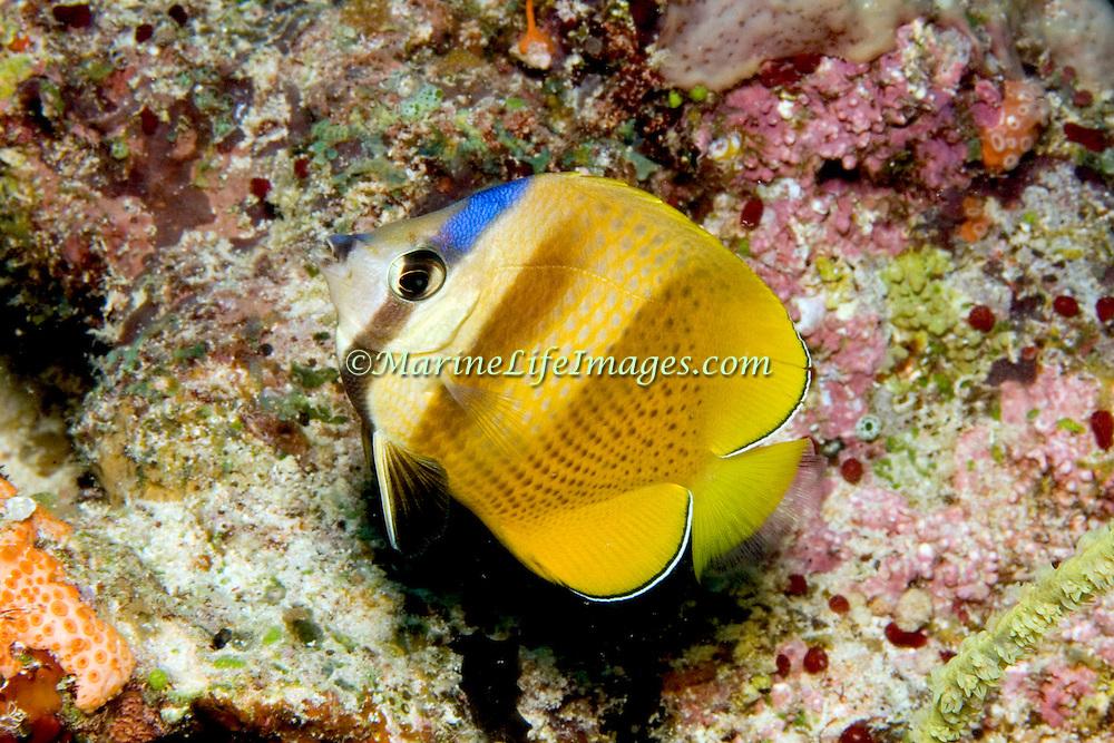 Blacklip Butterfly inhabit reefs. Picture taken Fiji.