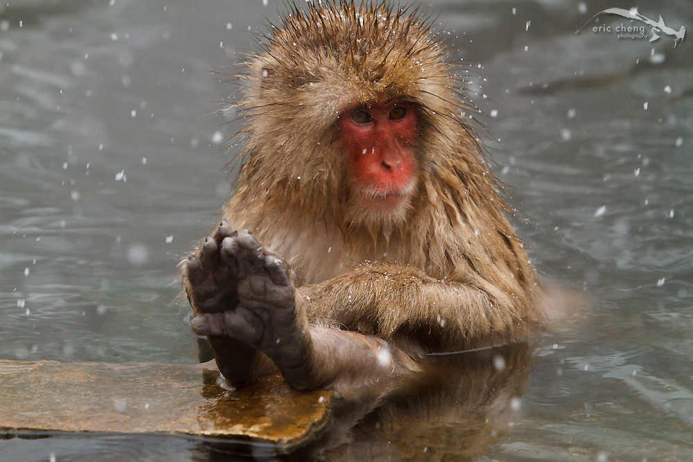 A snow monkey bathes in a hot spring (Japanese macaque, Macaca fuscata). Jigokudani Yaen-Koen near Shibu Onsen, Japan.