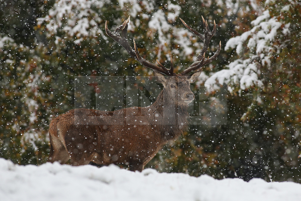 © Licensed to London News Pictures. 09/11/2016. Ripon, UK. A red deer stag stands to attention in the heavy snowfall at Fountains Abbey near Ripon in North Yorkshire. The Met Office has issued a severe weather warning as Scotland and much of the North of England has seen heavy snowfall. Photo credit : Ian Hinchliffe/LNP