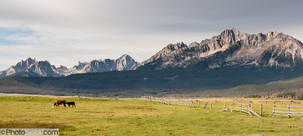 Cattle graze in a fenced ranch at the foot of the Sawtooth Mountains, near Stanley, Idaho, USA. The Sawtooth Range (part of the Rocky Mountains) are made of pink granite of the 50 million year old Sawtooth batholith.