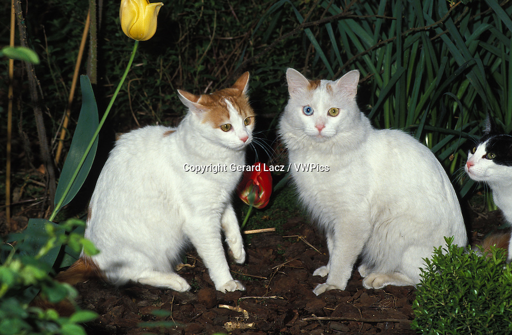 TURKKISH VAN DOMESTIC CAT, ONE OF THEM HAS DIFFERENT COLOURED EYES