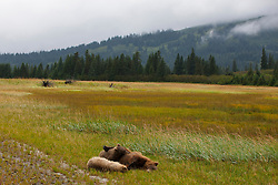 North American brown bear / coastal grizzly bear (Ursus arctos horribilis) sow sleeping with two cubs in a field, Lake Clark National Park, Alaska, United States of America
