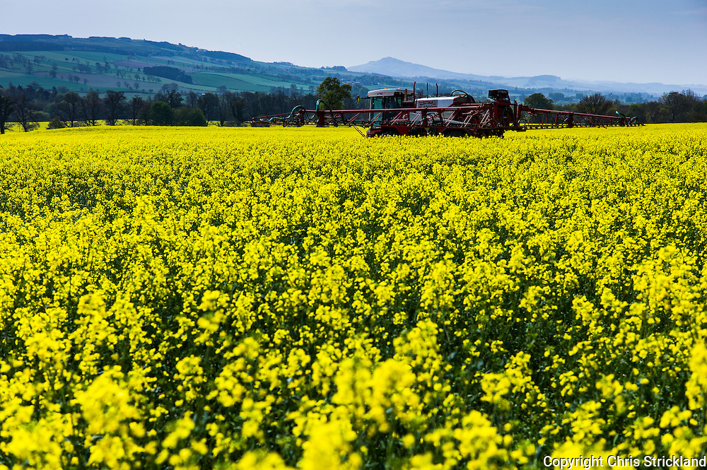 Ancrum, Jedburgh, Scottish Borders, UK. 11th May 2016. A farmer sprays an oil seed rape field with feriliser on a glorious hot day in the Borders.