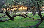 Salix fragilis, Crack willows at sunset