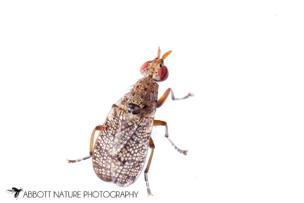 Marsh Fly (Euthycera arcuata)<br /> MISSISSIPPI: Forrest Co.<br /> Ashe Lake Recreation Area; De Soto National Forest<br /> Brooklyn, 31.03194&deg;, -089.16972&deg;<br /> J.C. Abbott #2664 &amp; K.K. Abbott