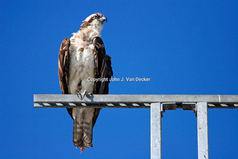 Osprey perched on a utlity pole, Ft Myers Beach, FL
