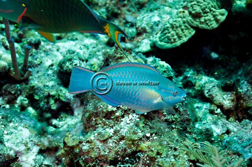 Princess Parrotfish, Scarus taeniopterus, Desmarest, 1831, Grand Cayman
