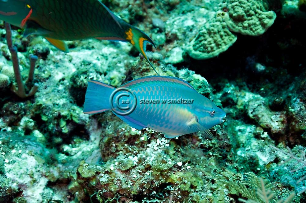 Princess Parrotfish, Scarus taeniopterus, Desmarest, 1831, Grand Cayman