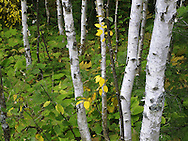 Birch Tree Trunks And Greenery In This Colorful Detail Image From A Forest Near Copper Harbor, Michigan's Upper Peninsula, USA : Low Res File - 8X10 To 11X14 Or Smaller, Larger If Viewed From A Distance