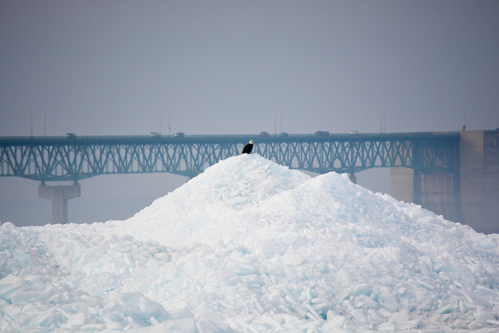 A Bald Eagle Sits In The Shadow Of The Mackinac Bridge Oblivious To The Vehicles In The Background.