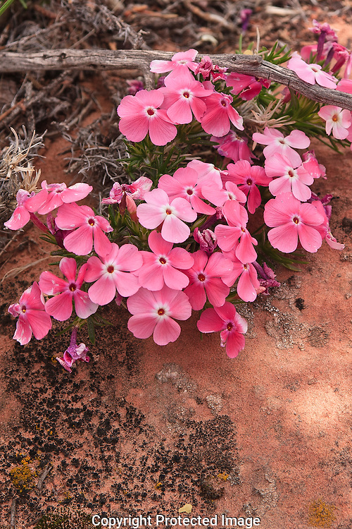 Long-Leafed Phlox are hummingbird pollinated,it's habit is arid,rocky,slopes,flats and dry meadows.