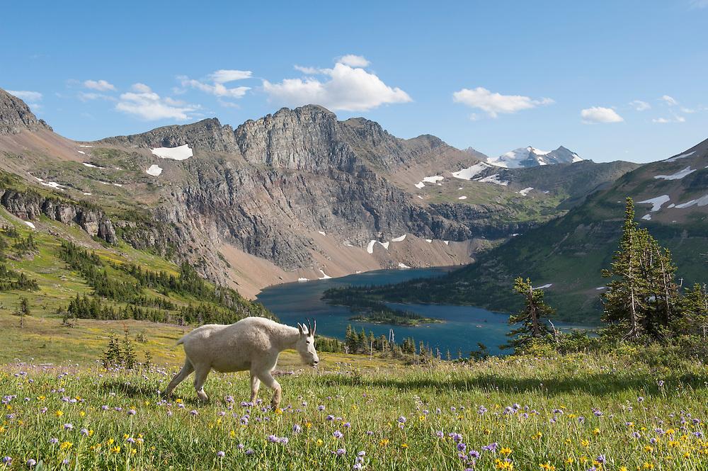 A mountain goat (Oreamnos americanus) above Hidden Lake, Glacier National Park, Montana