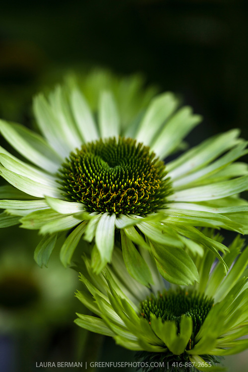 Green Jewel coneflower (Echinacea 'Green Jewel')