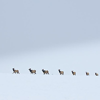 elk herd walking through the snow in line