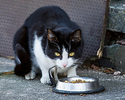 © Licensed to London News Pictures . 10/03/2014 . Farnworth , UK . A cat , fed by forensic examiners at the scene , believed to belong to the affected household . Police and forensic scenes of crime examiners at a house on Kildare Street , Farnworth , where the body of 40 year old Marc Jepson was discovered on 5th March , as Greater Manchester Police announce that they have arrested two people as part of their murder enquiry . A 27 year old man and a 63 year old woman are in police custody for questioning . Photo credit : Joel Goodman/LNP